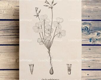 Illustration, Floral art, Antique Vintage, Printable prints, Wood sorrel, Oxalis Instant download print, Antique print, PNG JPG 300dpi