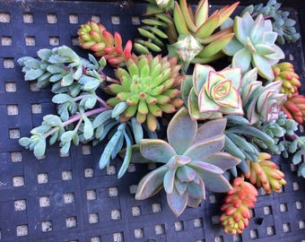 35 SUCCULENT CUTTINGS, Succulent plants, Succulent Terrarium, Succulent Centerpiece, Colorful Succulents, Succulentt Cuttings, Centerpiece