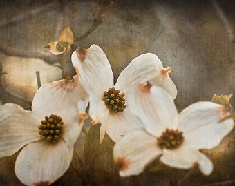 Dogwood Tree Flowers Photograph, beige & brown spring photo, vintage wall art, floral home decor - 8x12