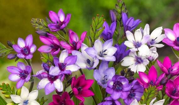 Resultado de imagen de babiana flowers