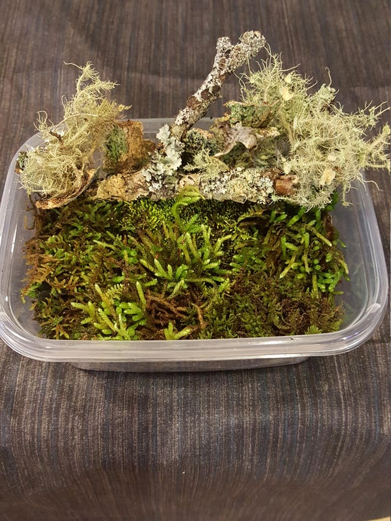 24 oz Container Full Bioactive Habitat Kit Live Living Moss Lichens River Sand Rocks Isopods Appalachian Mountains Terrarium Vivarium