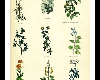"""Herbal Botanical Print #12 from """"The Complete Herbal"""" book 1850 ( 5""""X7"""" or 8""""X10"""" available)"""