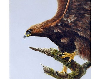 Golden Eagle Wildlife Portrait by award winning artist John Silver. Personally signed A4 Print. WI003SP