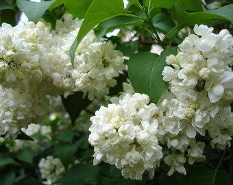 White big Lilac, Cutting plant, 1 cutting, plants, Giant White Lilac
