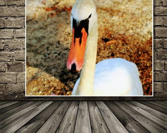 Nature Photograph,Swan Photo, Swan at Lake, Instant DOWNLOAD