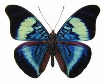 """Real Panacea prola """"Red Flasher"""" Butterfly, spread for your project or laminated or unmounted"""
