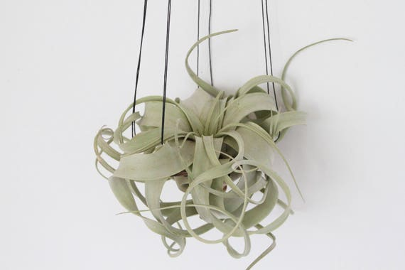Xerographica air plant hanger minimal design xerographica air plant hanger minimal design aloadofball Images