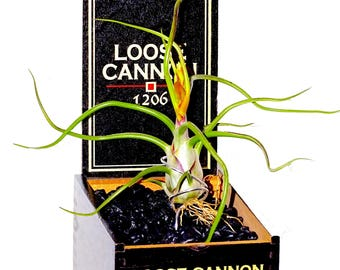 Beautiful Bulbosa in Loose Cannon Cigar Box