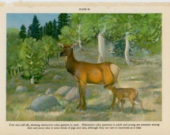 c. 1934 ELK DEER PRINT - original vintage print - forest animal lithograph - mother and baby elks - cow and calf elk print