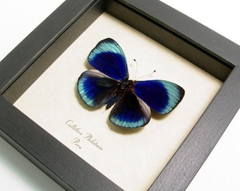 Callithea philotmia Real Framed Butterfly Conservation Display 355
