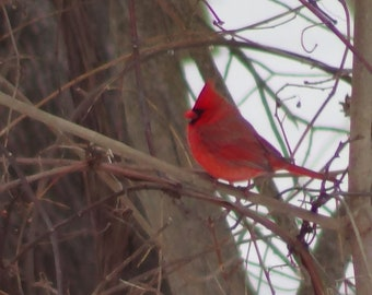 Cardinal in Branch
