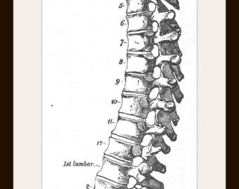 Anatomical Spine, Vintage Medical Illustration Print, Spinal Column, Skeleton, Chiropractor Office, Medical Oddity Art Ready for Framing