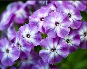 Organic Mixed Annual Phlox Drummond's Drummondii Heirloom Wildflower Seeds
