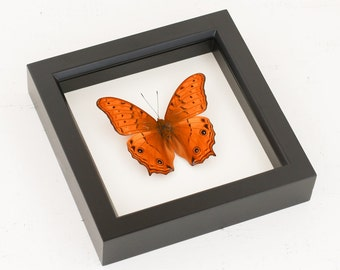 Cruiser Framed Butterfly Display Insect Taxidermy