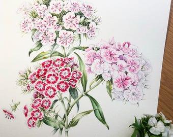 Watercolor botanical illustration: Sweet-william. Art print.