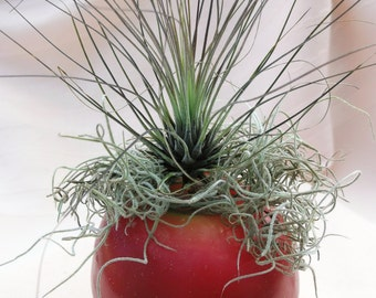 Apple candle loves airplant company arrangement