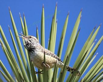 Nature photo print. Desert Cactus Wren bird photo. Horizontal print