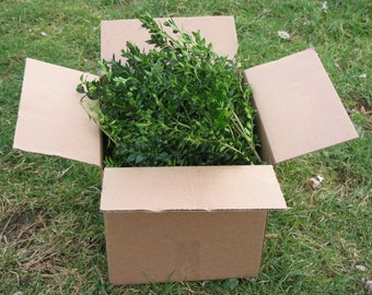 Fresh boxwood BY THE POUND, fresh boxwood branches, English boxwood cuttings, American boxwood cuttings, fresh boxwood cuttings, greenery