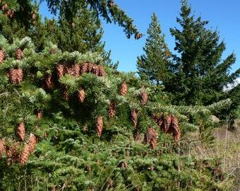 10  Pseudotsuga menziesii, Douglas fir Seeds