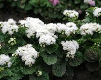 White Clouds Ageratum Flower Seeds / Annual  50+