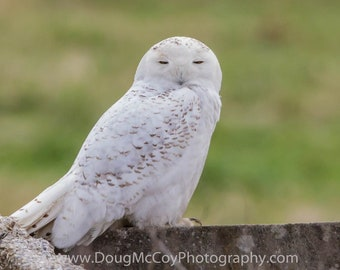 Snowy Owl in Central Ky. #2338
