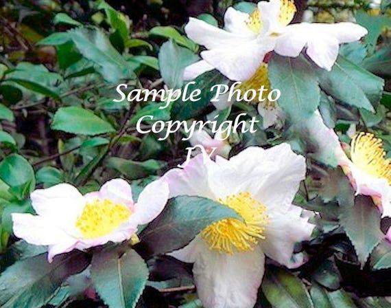5 tea plant seeds white flower clusters sun shade tropical mightylinksfo