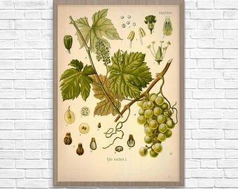 Grape Botanical Art Print, Vintage Botanical Home Decor, Grapes Poster, Kitchen Poster, Kitchen Illustration 1887, Giclee Print