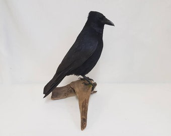 Taxidermy crow mounted on driftwood base. By David moscrop