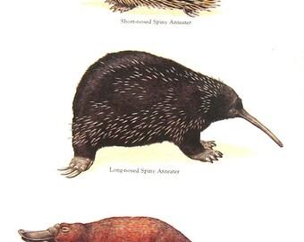 Anteater, Platypus Vintage 1984 Animals Book Plate