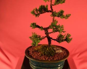 Bonsai, Traditional bonsai, Japanese Juniper, upright style, 10 years old.