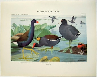 Purple Gallinule Florida Gallinula & American Coot - Antique Print by Louis Agassiz Fuertes - From the 1910 Edition of The Birds of New York