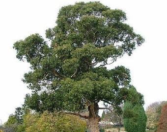 1000 Blue Gum Tree Seeds, Eucalyptus Globulus