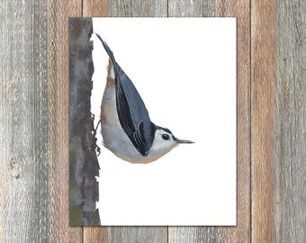 White-breasted Nuthatch Bird Print