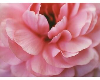 Photography - Flower Photograph - Nature Photography - Pink Print -  Ranunculus Art - Foxtrot -  Spring Art - Home Decor - Oversized Art