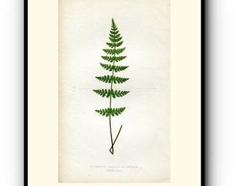 Edward Joseph Lowe Fern (Cystopteris Fragilis--V. Dentata) Antique Botanical Print, 1859 Wood Block Engraving, Book Plate