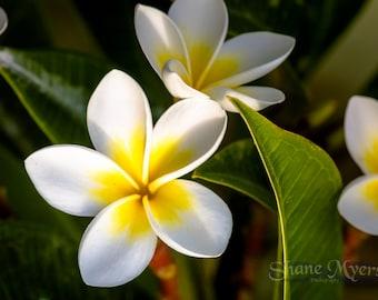"Aluminum/Canvas Fine Art print of Beautiful Hawaiian Flower titled ""Plumeria"""