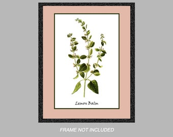 Vintage Botanical Print - Lemon Balm - Herb Series - 8x10, 11x14, and 16x20 - Digital Matte - Ready to Frame, Kitchen Wall Decor