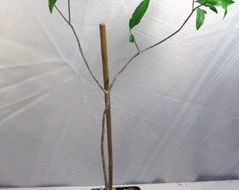 Adansonia Madagascariensis Fat plant African Baobab tree Bonsai fat plant