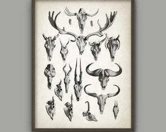 Antlers Poster - Animal Antlers Print - Vintage Antlers Illustration - Antique Animal Anatomy - Skeletal Anatomy - Biology Art Print