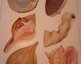 Pearl Oysters 1904 - vibrant color prints - black pink pearl Science Illustration - Print only or with Mat - Ships Fast