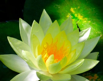Yellow Lotus Flower Fine Art Photography - Water Lily in Pond - Nature Photography - Spiritual Radiant Light Zen Art - Gift for Her or Him
