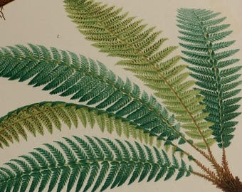 1878.Antique Print.FERNS. Color Lithograph .Botany.EUROPEAN FERNS.138 year old print.Antique Botany print.10.6x7.8 inches or 27x20 cm.