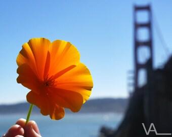 Golden Gate Poppy