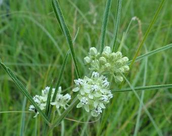 Narrow-leaf  Milkweed AKA Slim-Leaf Milkweed Seeds/Asclepias stenophylla/ Butterfly Host Plant