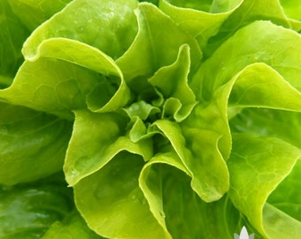 Little Gem Lettuce Heirloom Seeds - Non-GMO, Open Pollinated, Untreated