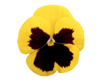 Gold Pansy Pillow