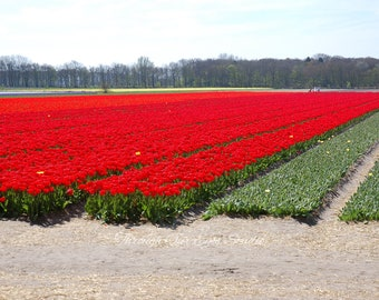 Tulips Anyone?