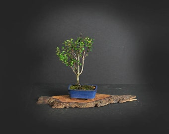 African Boxwood (rare) Bonsai Tree, Mame Collection from LiveBonsaiTree