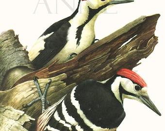 1959 Vintage woodpecker print Vintage bird illustration Vintage bird art Vintage bird print Antique bird illustration Wild Bird decor