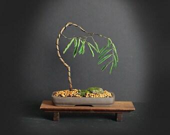 Acacia Bonsai tree, Acacia collection from LiveBonsaiTree
